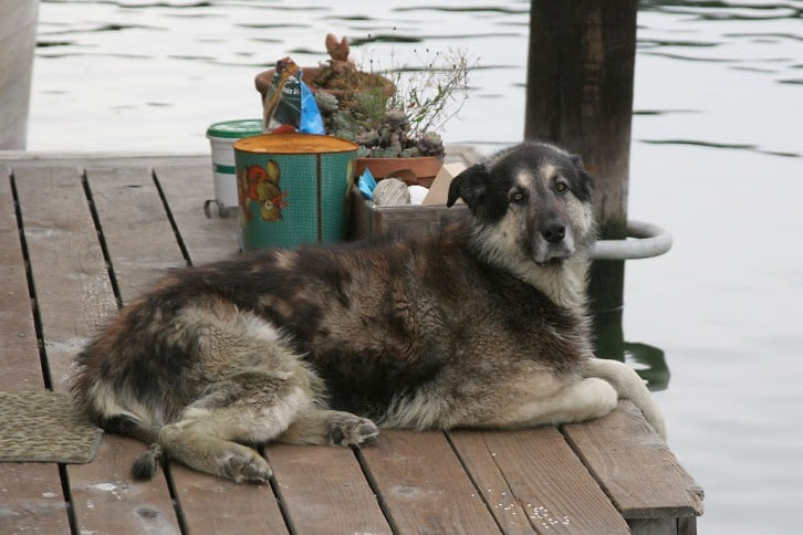 Beautiful Dog on a San Rafael Houseboat