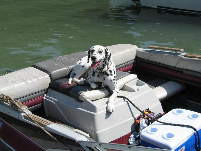 Boating Dalmation