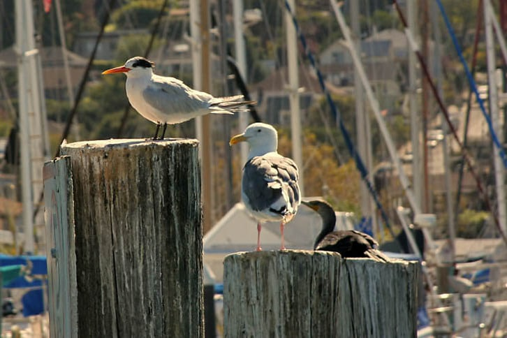 Caspian Tern and Sea Gull in Sausalito