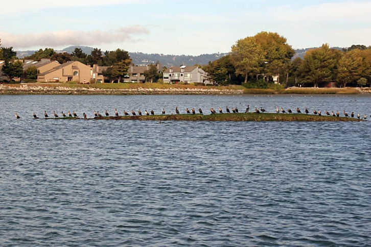 Cormorants on a Tiny Island at Ballena Bay, Alameda