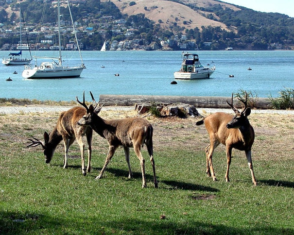Deer in Ayala Cove