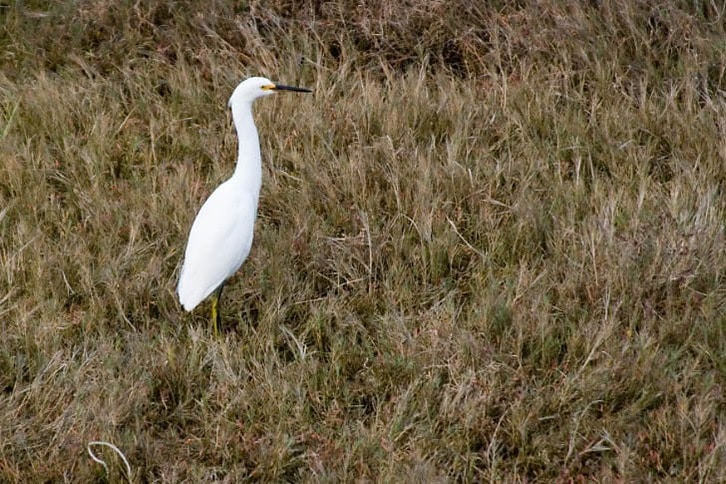Egret at the Edge of the Bay in Larkspur