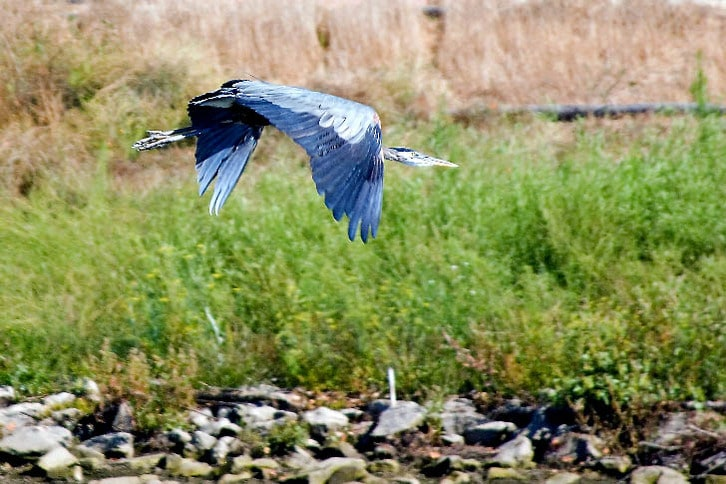 Great Blue Heron Cruising the Napa River