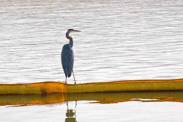 Great Blue Heron Rests on Containment Boom