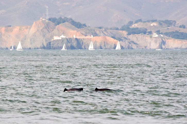 Harbor Porpoises Outside the Golden Gate