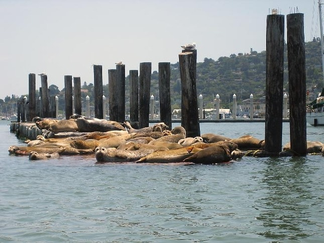 Harbor Seals at Clipper Yacht Harbor