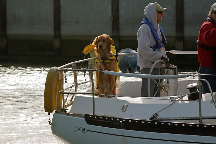 Irish Setter Enjoying a Sail on Her Islander 36