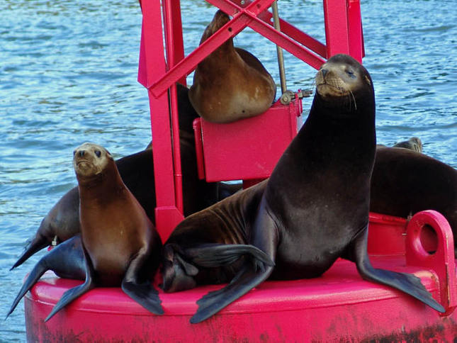 Sea Lions Resting on a Red Buoy