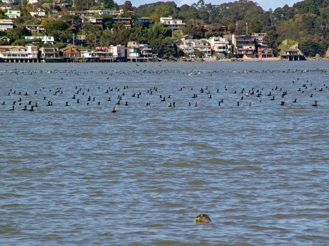 Seal and Cormorants In The Bay