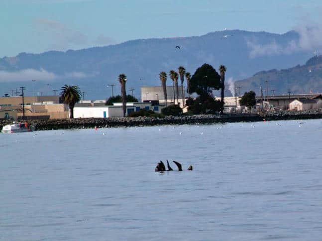 Seals Resting Behind Treasure Island