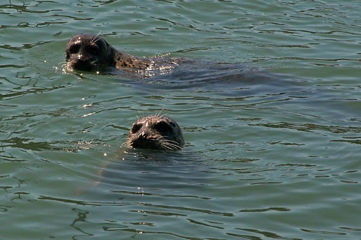 Seals in Sausalito