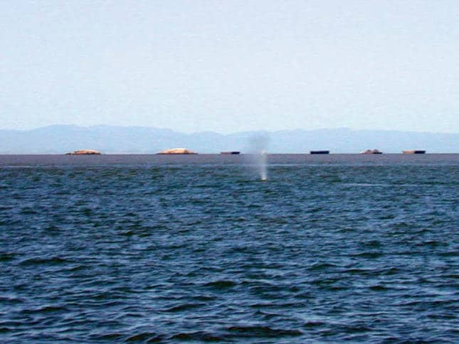 Whale Blowing Air near San Rafael